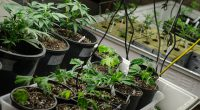 Five States Approve Marijuana Legalization Measures By: Derek Bowers, Mason Votes 2020 Online Editorial Team As the dust settles on the 2020 presidential election, another winner emerges to join President-Elect […]